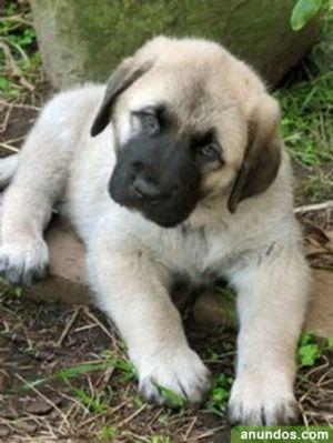 Anatolian Sherpherd Dog