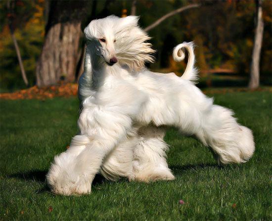 Afghan hound elegante