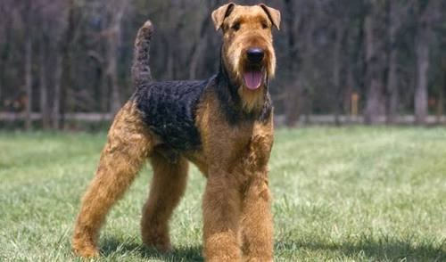 Airedale Terrier Raza Pura en el campo