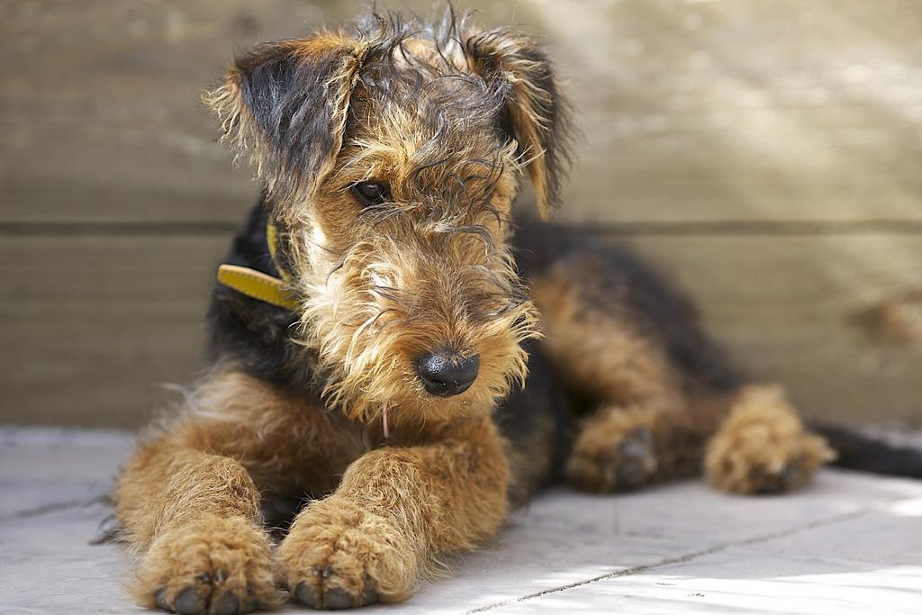 PerroAiredale Terrier