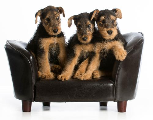Familia Airedale Terrier