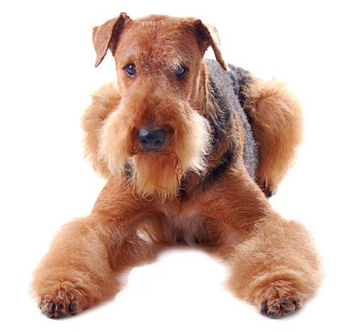 Airedale Terrier Tierna Mirada
