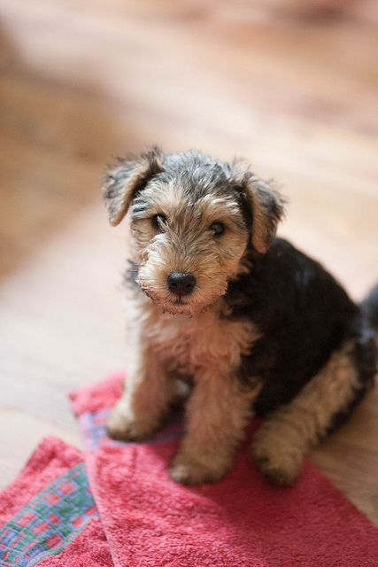cachorro lindoAiredale Terrier