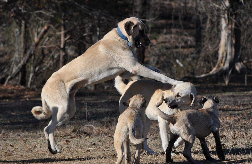 Anatolian Shepherd Dog con crias