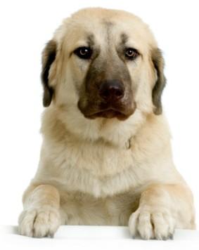 Anatolian Shepherd Dog tierno