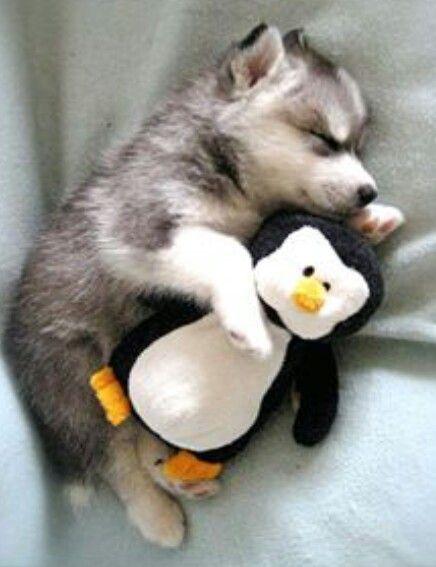 Alaskan Klee Kai con pinguino