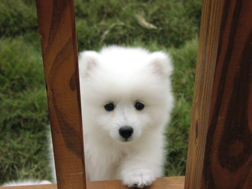 American Eskimo Dog curioso