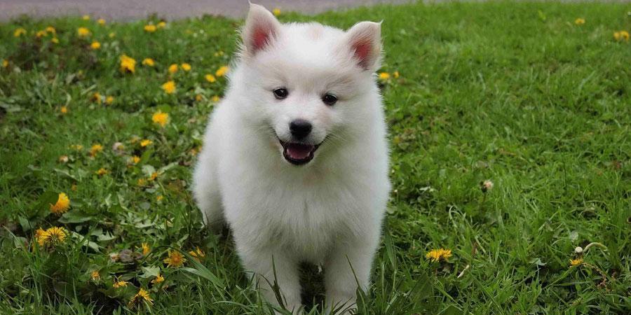 American Eskimo Dog lindo