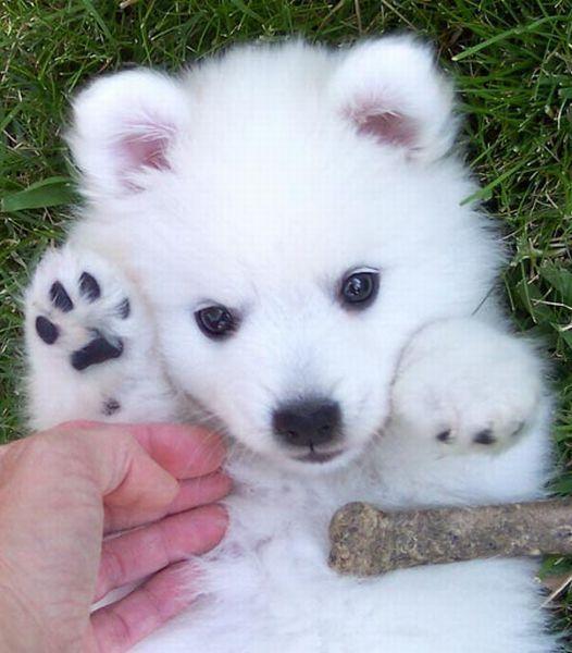 hermoso American Eskimo Dog