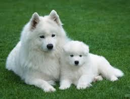 American Eskimo madre e hijo