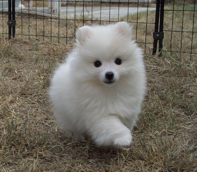 American Eskimo Dog en granja