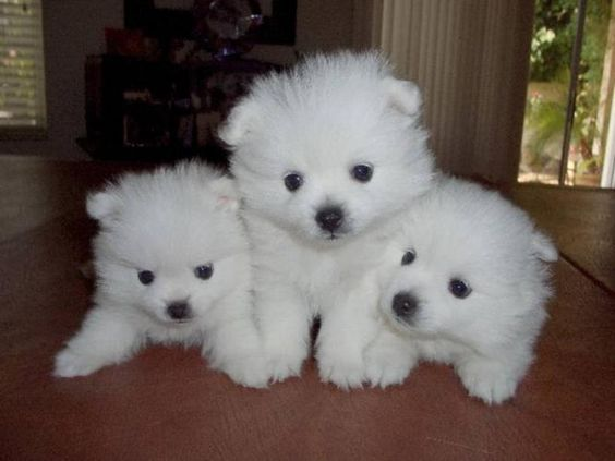 American Eskimo Dog hermanitos