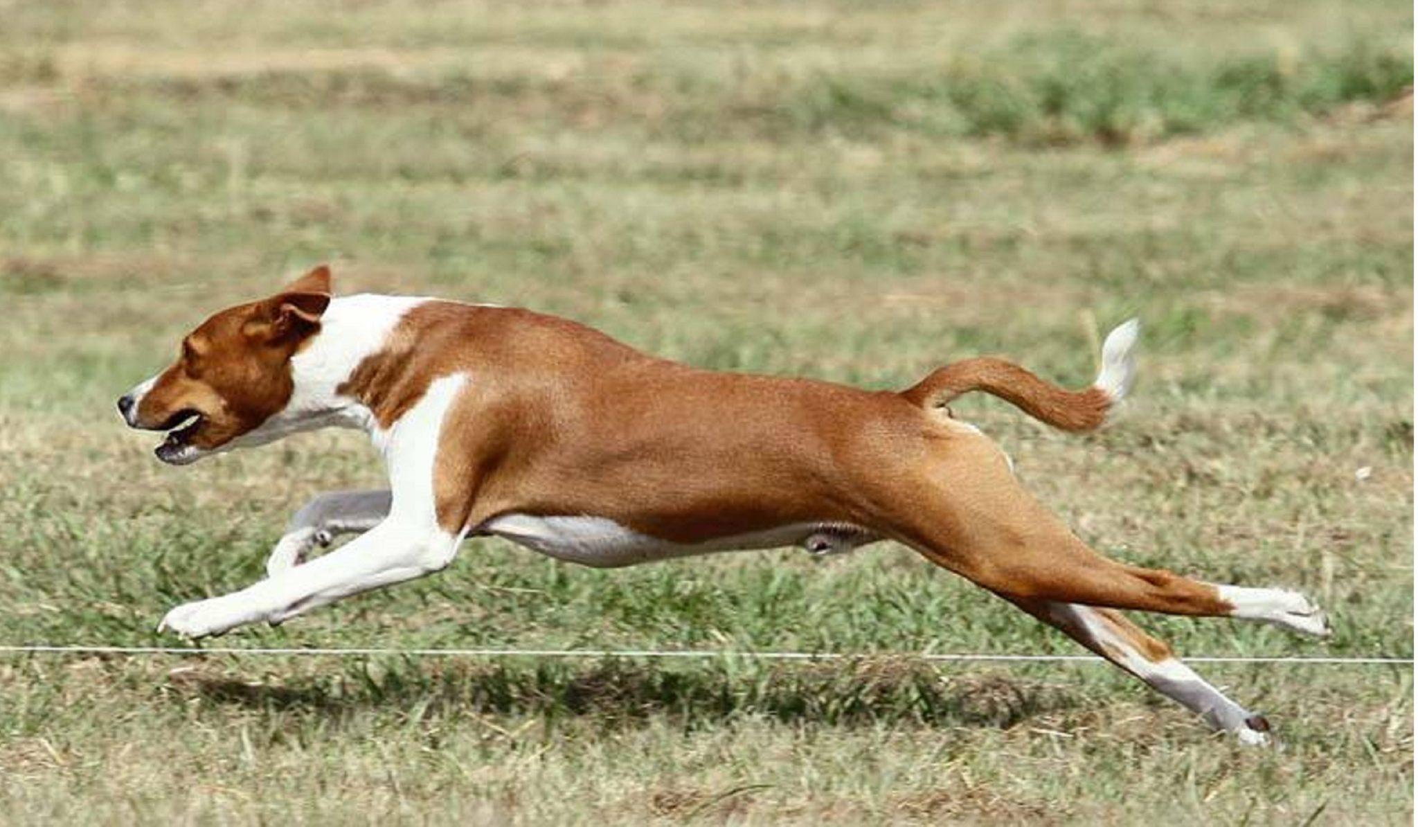 Basenji Corriendo y Saltando