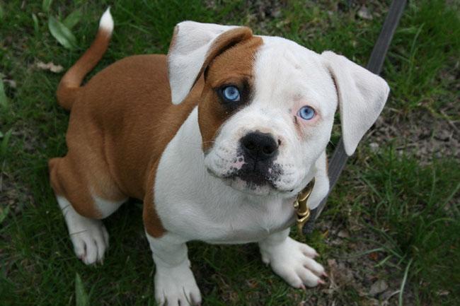 Bulldog Americano bebé