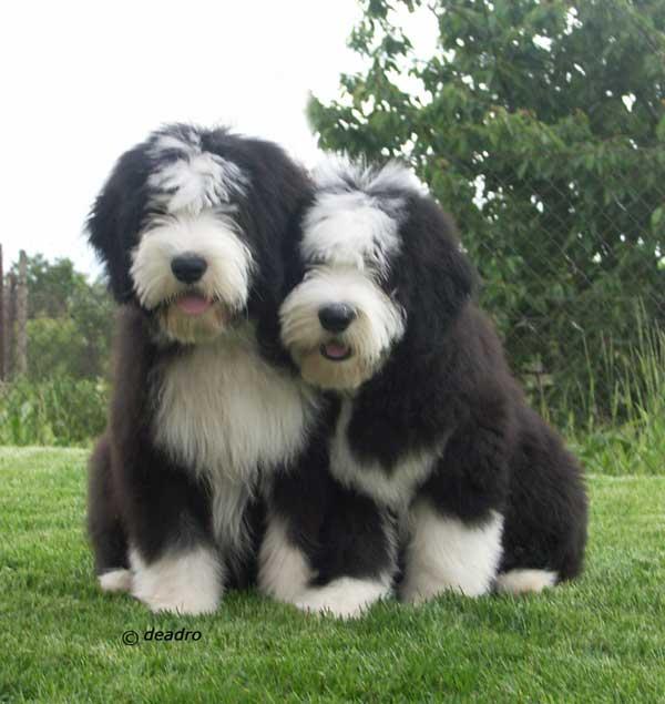 Collie Barbudo cachorros