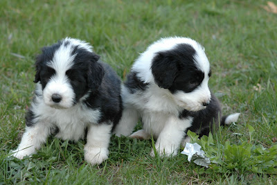 Collie Barbudo hermosos