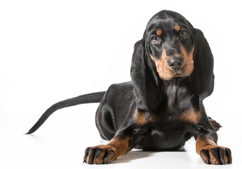 Coonhound negro y rojizo