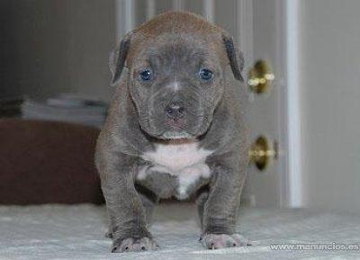 Pit Bull Terrier Americano