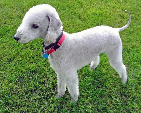 Terrier de Bedlington