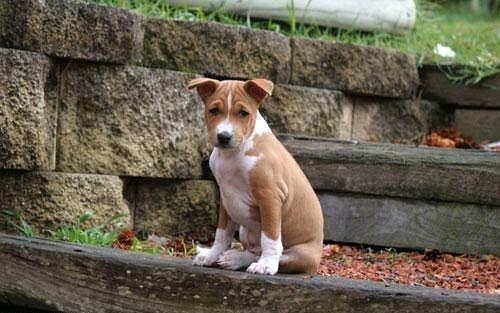 basenji lindo cachorro