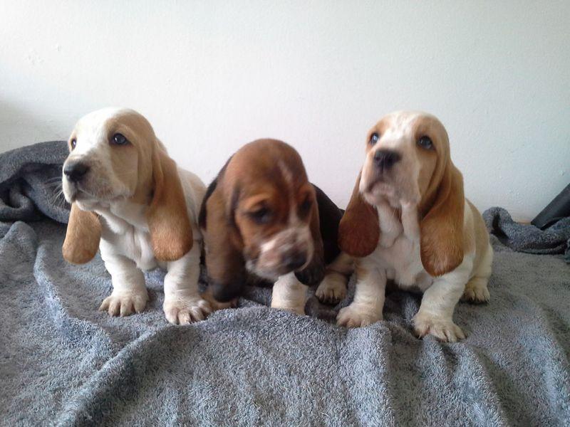 basset hound puppys