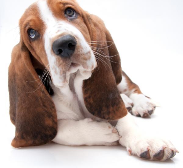 basset hound Hechado