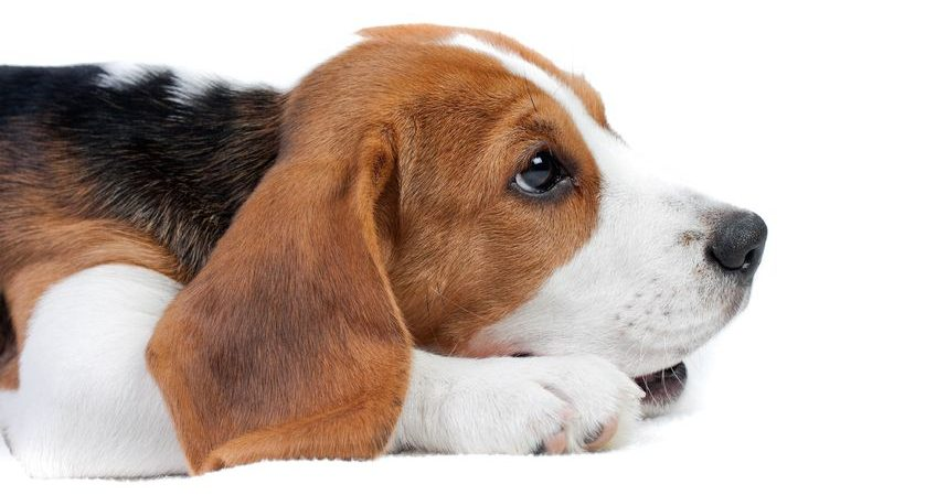 beagle Dulce Mirada