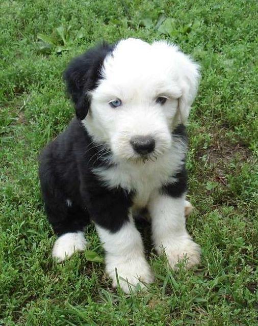 Bobtail Cachorro Blanco y Negro
