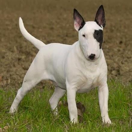 Bull Terrier con mancha en el Ojo