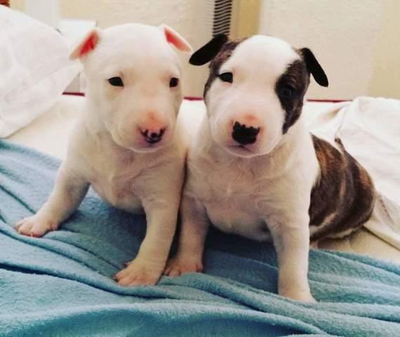 Bull Terrier Bebes