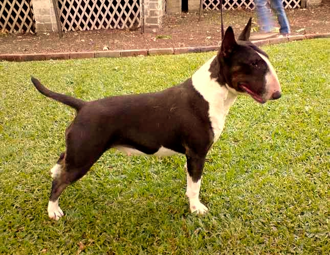 Bull Terrier en el patio