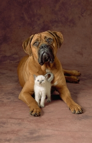 Bullmastiff With Cat