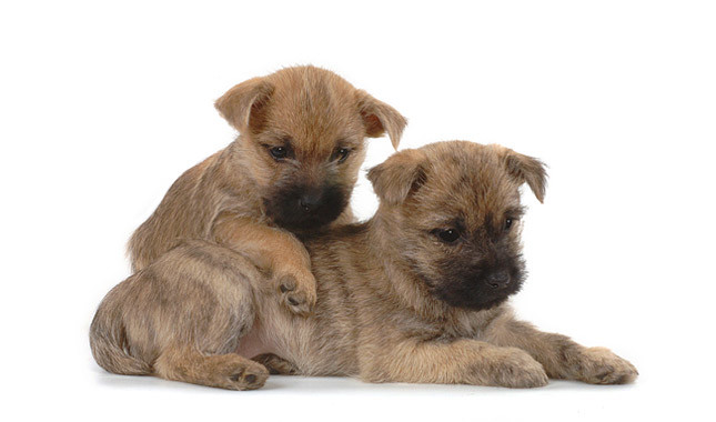 Cairn Terrier Gemelos
