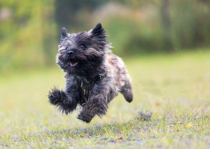 Cairn Terrier Saltando