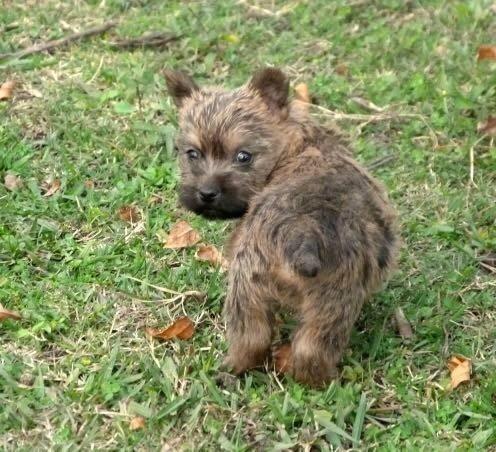 Cairn Terrier mirando atras