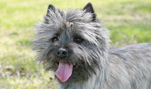 Cairn Terrier Mirada traviesa