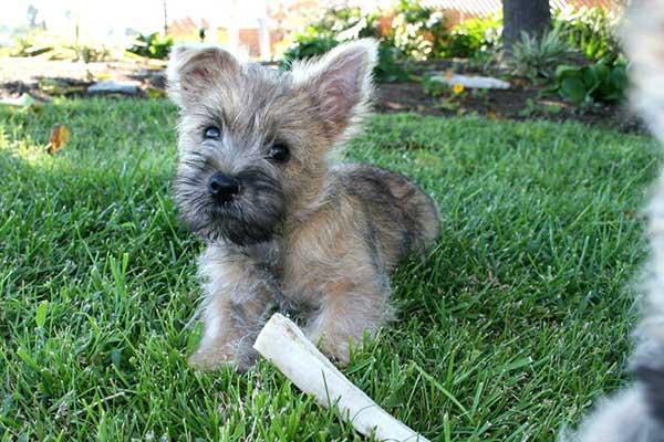 Cairn Terrier Jugueton