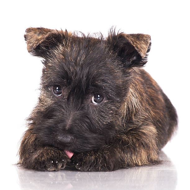 Cairn Terrier Lindo Color Marron