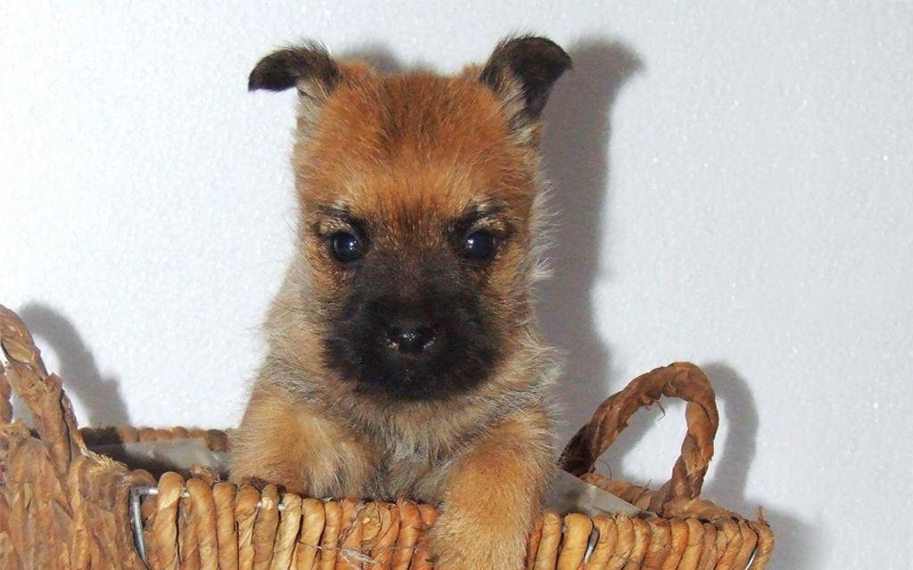 Cairn Terrier en Canasta