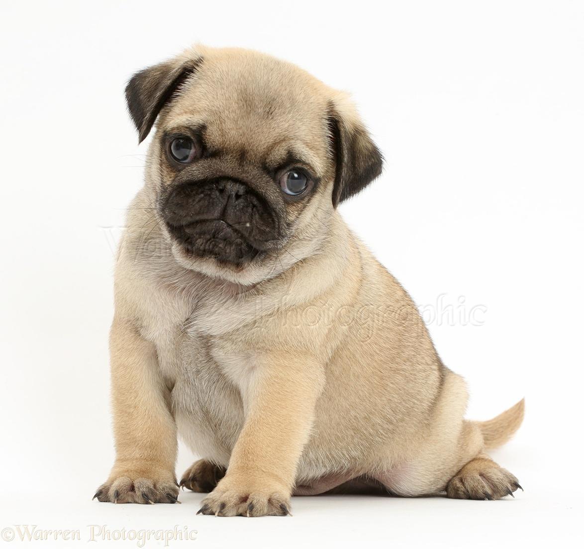 Pug puppy sentado