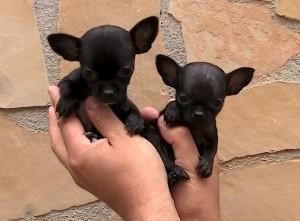 chihuahua Cachorros camada