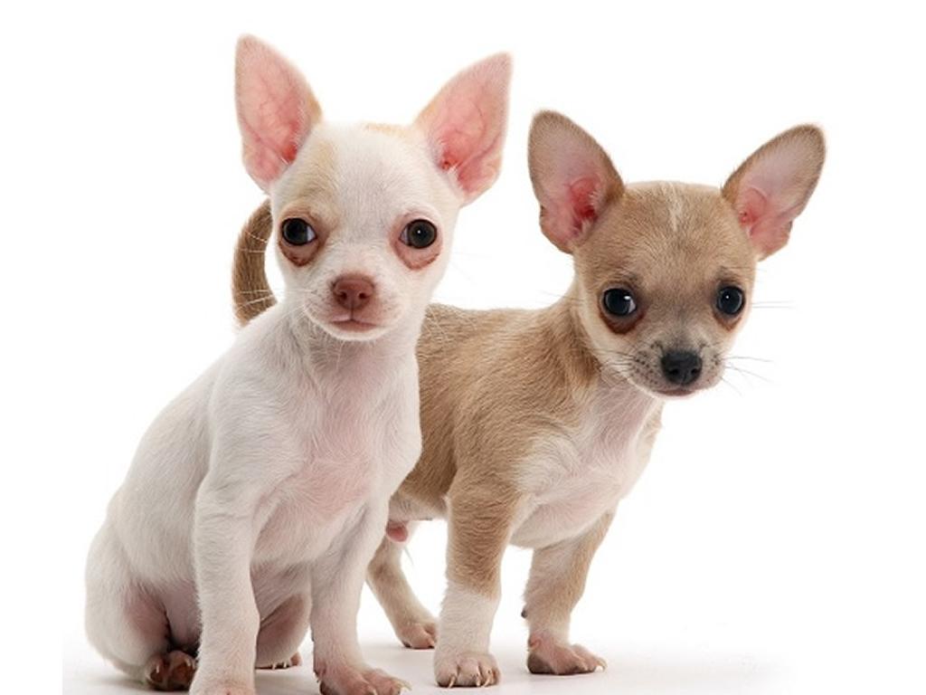 chihuahua pareja