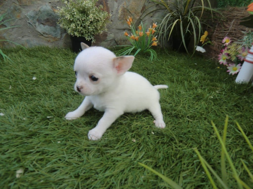 chihuahua recién nacido