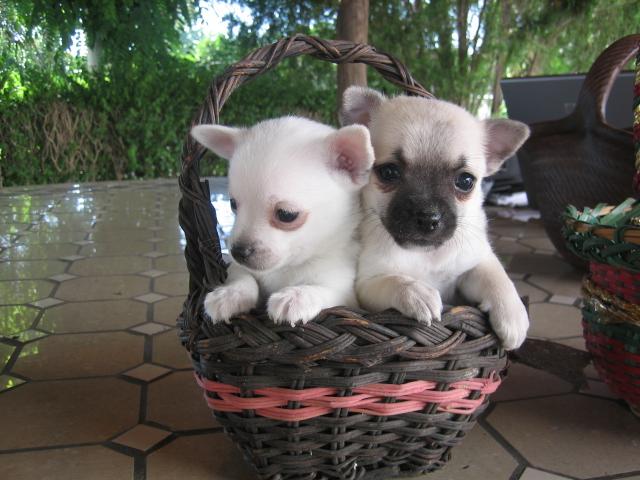 chihuahua cachorros pelo corto en canasta