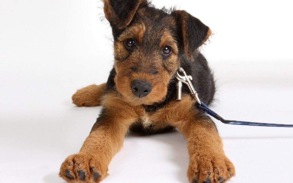 Airedale-Terrier con correa