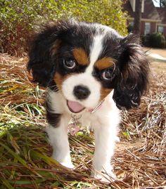Cavalier King Charles Spaniel pequeño y dulce