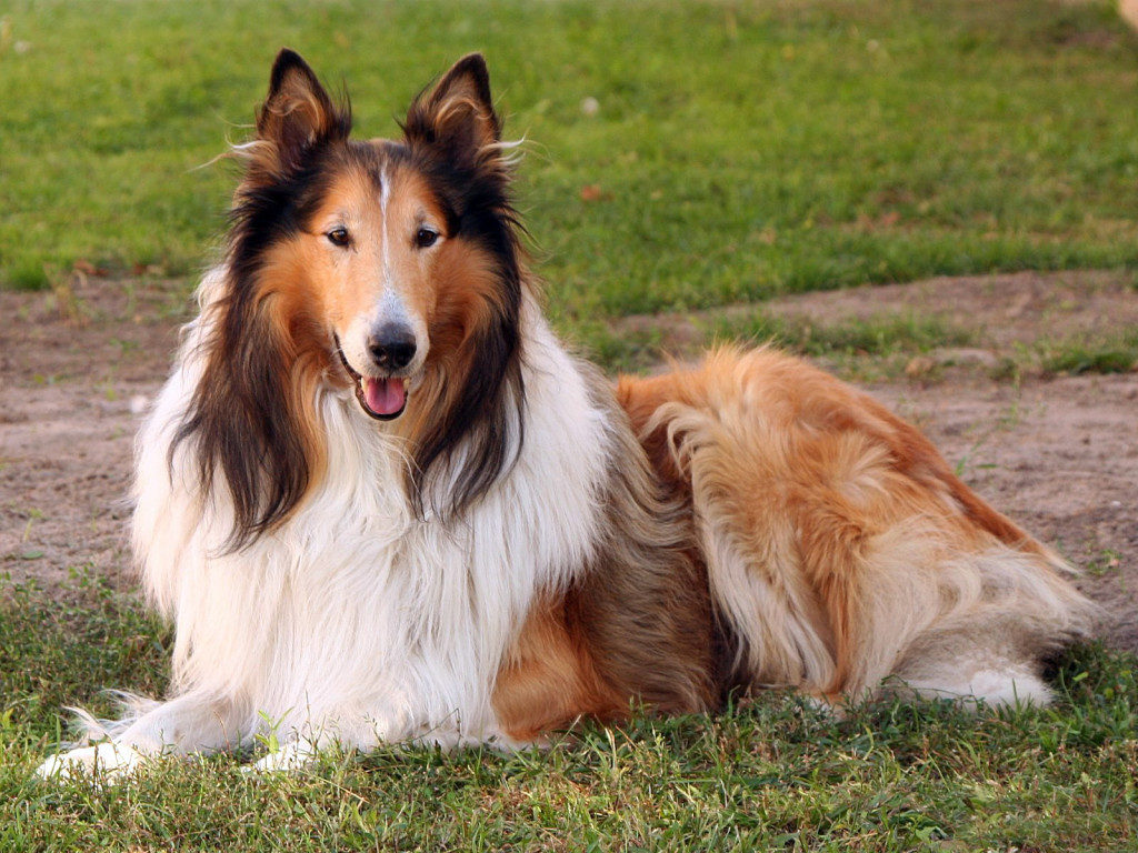 Collie adulto lazzy