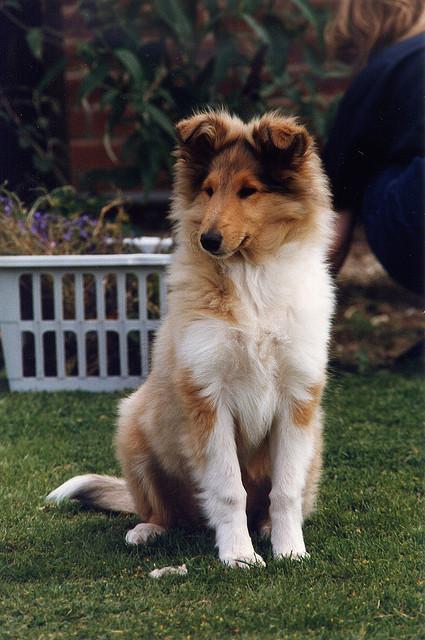 Collie cachorro LINDO