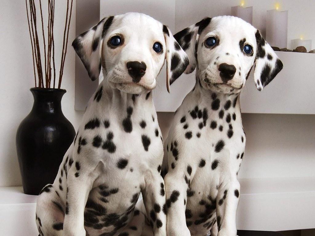 Dalmata puppies
