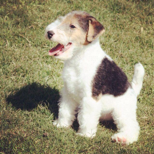 Fox terrier cachorrito